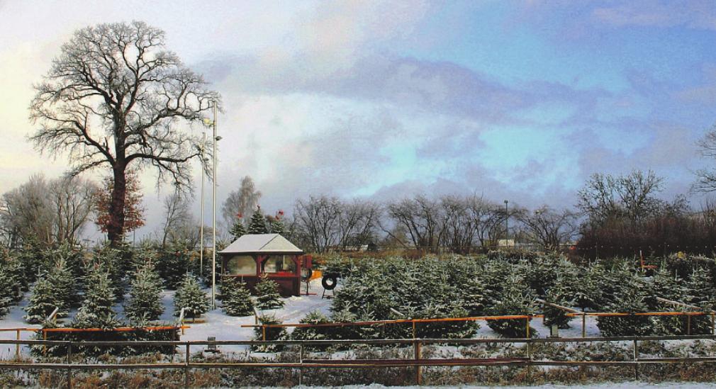 Ob selbst gesägt oder nur ausgesucht auf dem Erdbeerhof Glantz findet jeder den richtigen Baum für das Fest Foto: pr