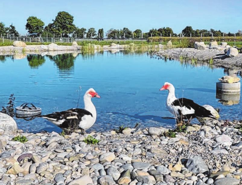 Abgehärtet – noch haben die Warzenenten den Teich auf Gut Morhard für sich allein. Fotos: TierSV/P. Schöbel