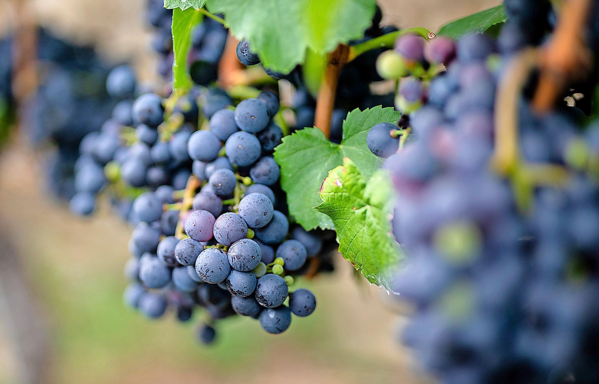 Im Anbaugebiet des Badischen Weinbauverbands wachsen ausgezeichnet Weine. FOTO: CHRISTOPH SCHMIDT (DPA)