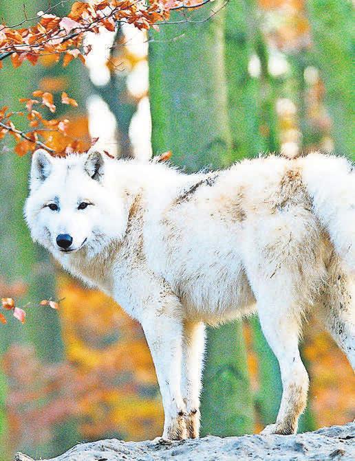 Erleben Sie die wilden Tiere in ihrem natürlichen Umfeld im prachtvollen Herbst.