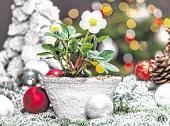 Zu Weihnachten in voller Pracht: Christrosen.