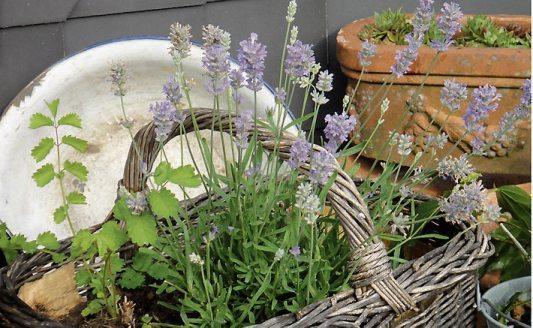 Duft des Südens mit kleinwüchsigem Lavendel. Bild: Helix