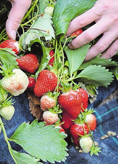 Gefragte Frucht: die Erdbeere. FOTO: KÜHNER