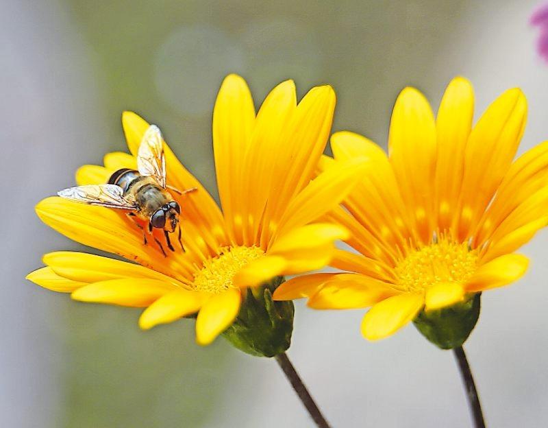 Korbblütler wie das Mittagsgold locken die nützliche Schwebfliege in den Garten. FOTO: KARL-JOSEF HILDENBRAND/DPA