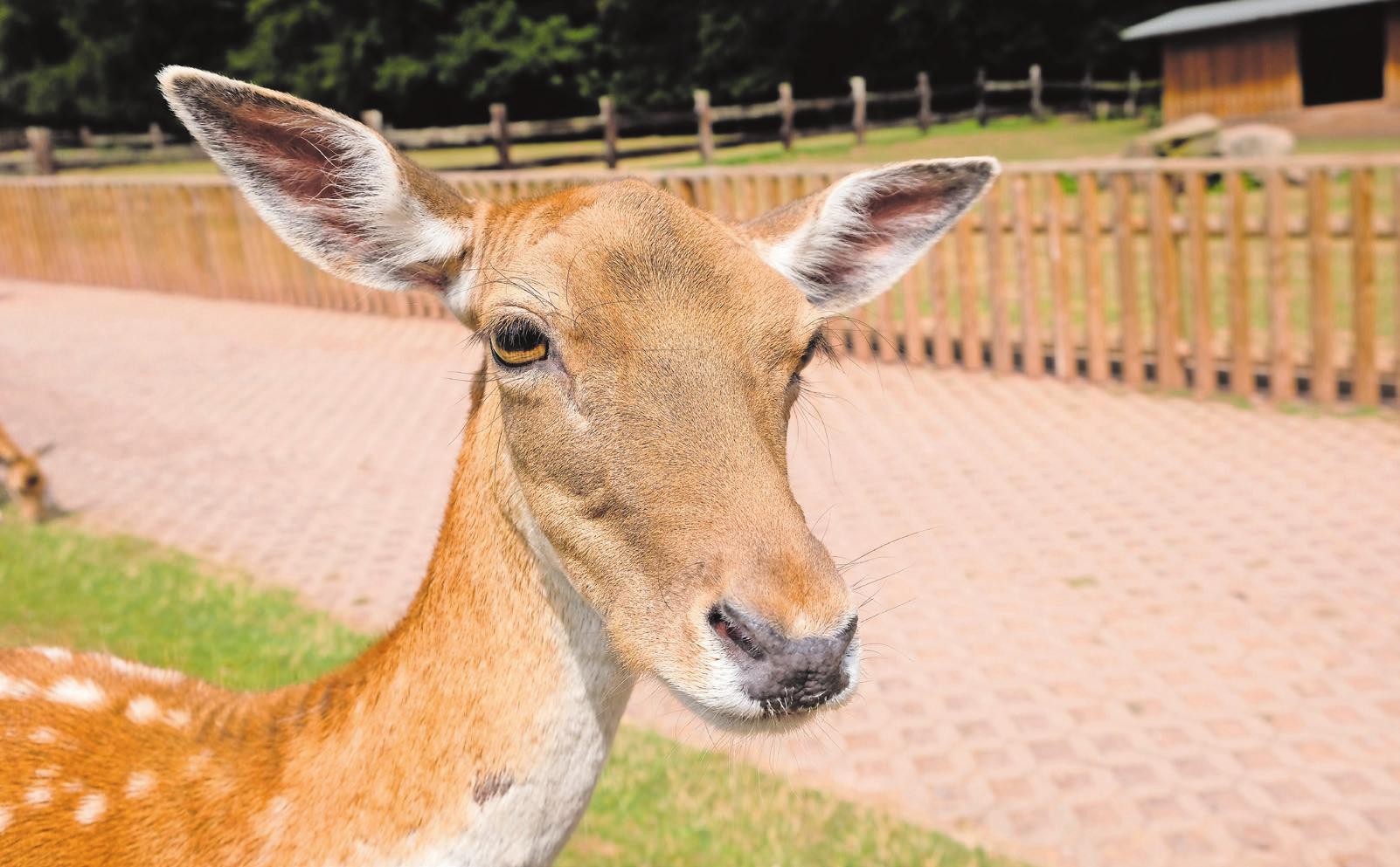 Tiere sind überall anzutreffen im Park: Ziegen, Kaninchen, Rot- und Damwild, Uhus, Wölfe, Wildschweine und Mufflons. Fotos: tkn