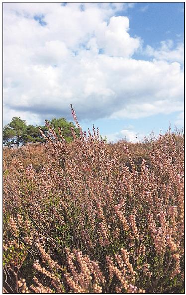 Malerisch: die Heide im westpfälzischen Mehlingen.Foto: kai