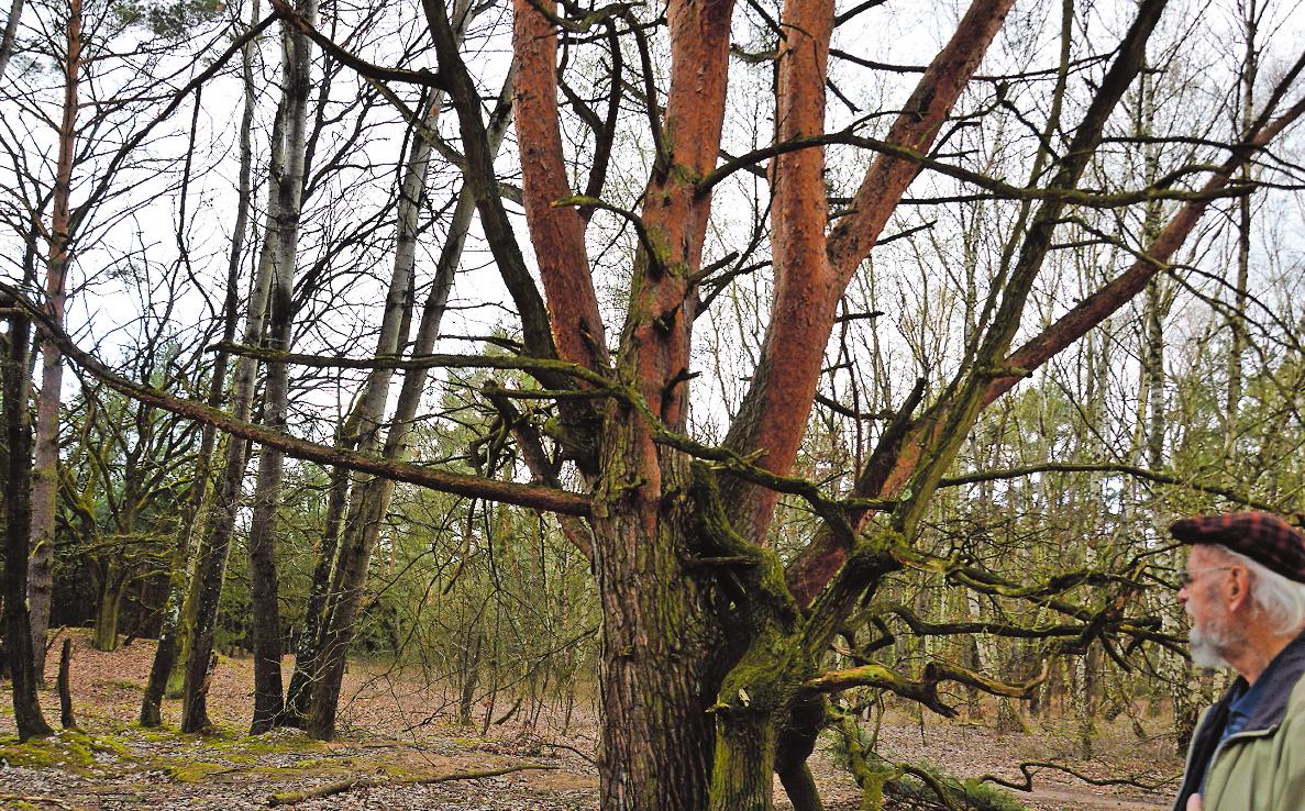 """Sein Freund, der Baum: Erich Bettag hat die 60 Jahre alten Eichen """"aufwachsen"""" sehen. FOTO: KÜHNER"""