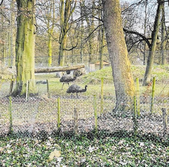 Die Emus im früheren Bärengehege.