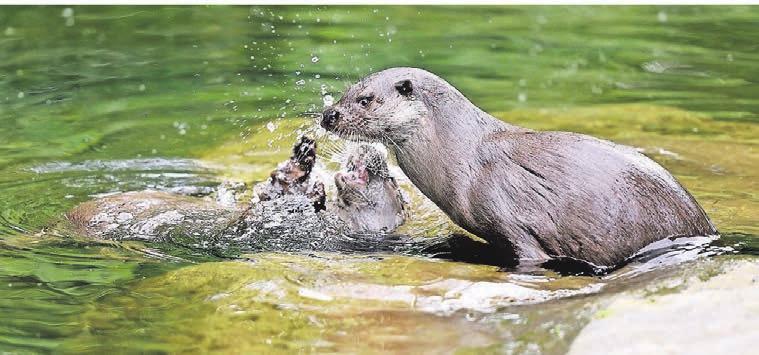 Endlich leben wieder Fischotter im Zoo. Das junge Paar aus Schweden und den Niederlanden hat sich gut eingelebt und versteht sich prächtig. Das lässt auf Nachwuchs hoffen.