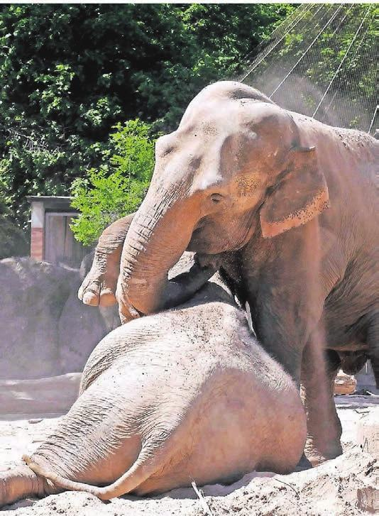 Die Elefanten Rhena und Mumptas Mahal leben entspannt in ihrem Gehege.