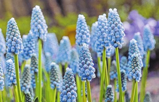 """Die Muscari armeniacum """"Peppermint"""" trägt elegante, blaue Blüten."""