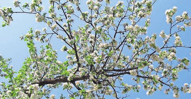 Wer sich solche prächtige Apfelblüten in den Garten holen will, für den ist die florus-Baumschule die richtige Adresse. Foto: bamby/pixelio.de