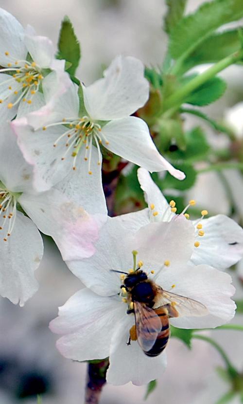 Bee happy: Prunus kurilensis.