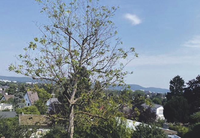 Dieser Walnussbaum hatte bereits in den Sommermonaten nur noch wenige Blätter. Bild: zVg