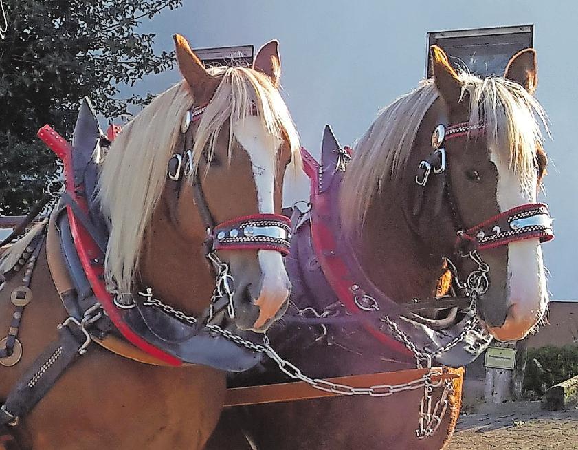 Ziehen den Planwagen am Sonntag durch Neuhofen: die Kaltblüter Nelly und Zaphyr. FOTO: TRANSPORTE UND KUTSCHFAHRTEN JOOSS/FREI