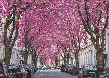 Die Kirschblütenbäume zeigen bald wieder ihre Farbenpracht Bild: Adrian72/stock.adobe.com