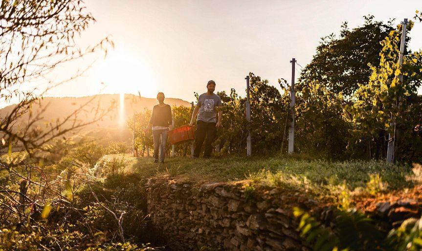 Die Weinernte wird vielerorts noch händisch durchgeführt. Purer Genuss braucht eben auch umsichtige Handhabe.Foto: WTG/Robert Herbst