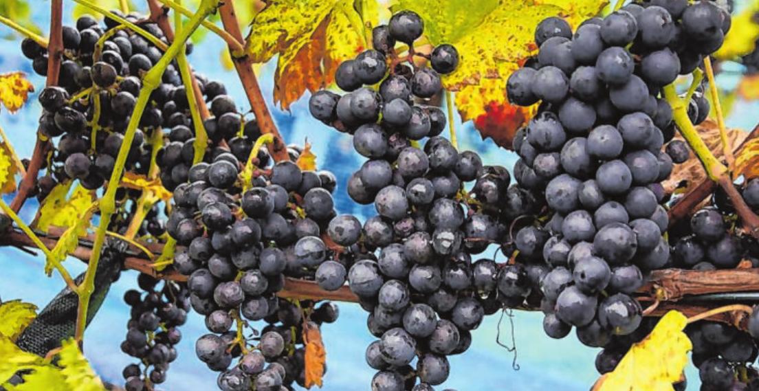 Drei Tage lang dreht sich in Kreuztal alles um den erlesenen Rebsaft aus namhaften deutschen Anbaugebieten. Foto: Siegerländer Weinkonvent