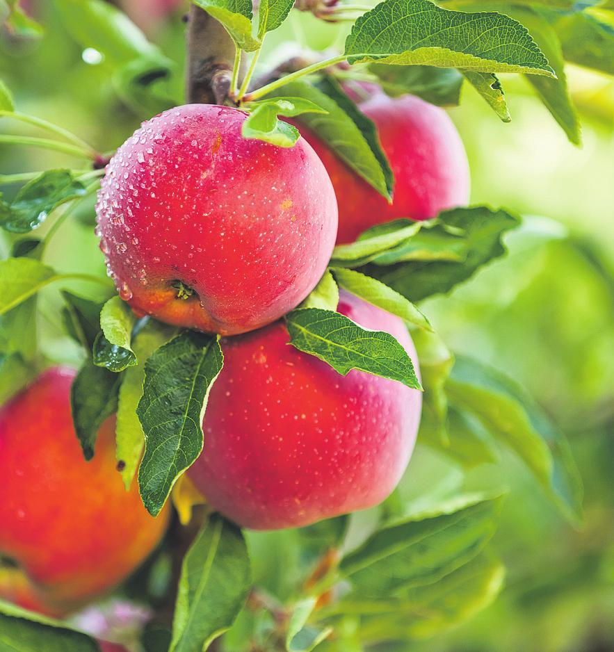 Insgesamt 20 Apfelsorten gibt es vor Ort Bild: Mariusz Blach/ stock.adobe.com