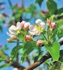 Wilder Apfelbaum im Frühling