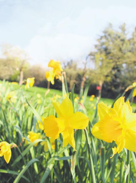 Osterglocken blühen dort im Frühling Bild: Seher