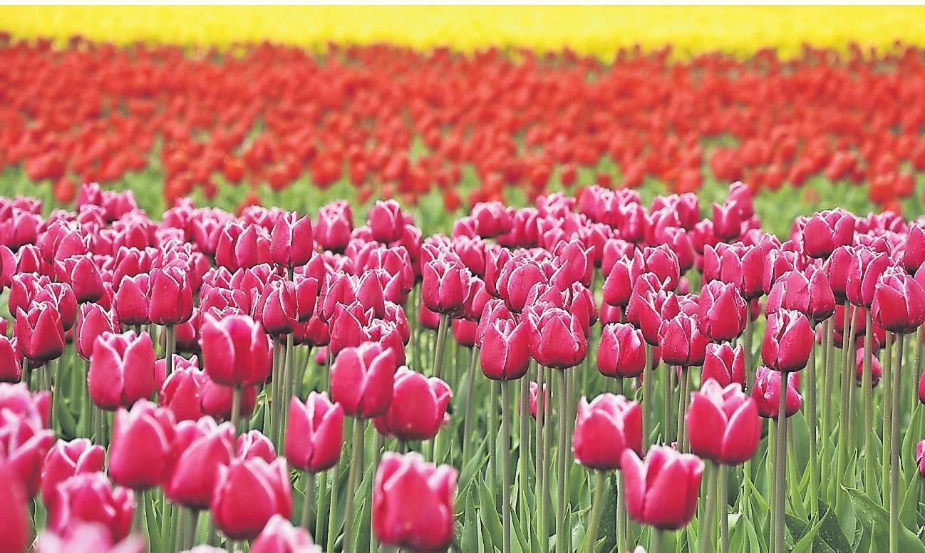 Tulpen in allen Farben gehören überall in Holland zum Landschaftsbild im Frühling.