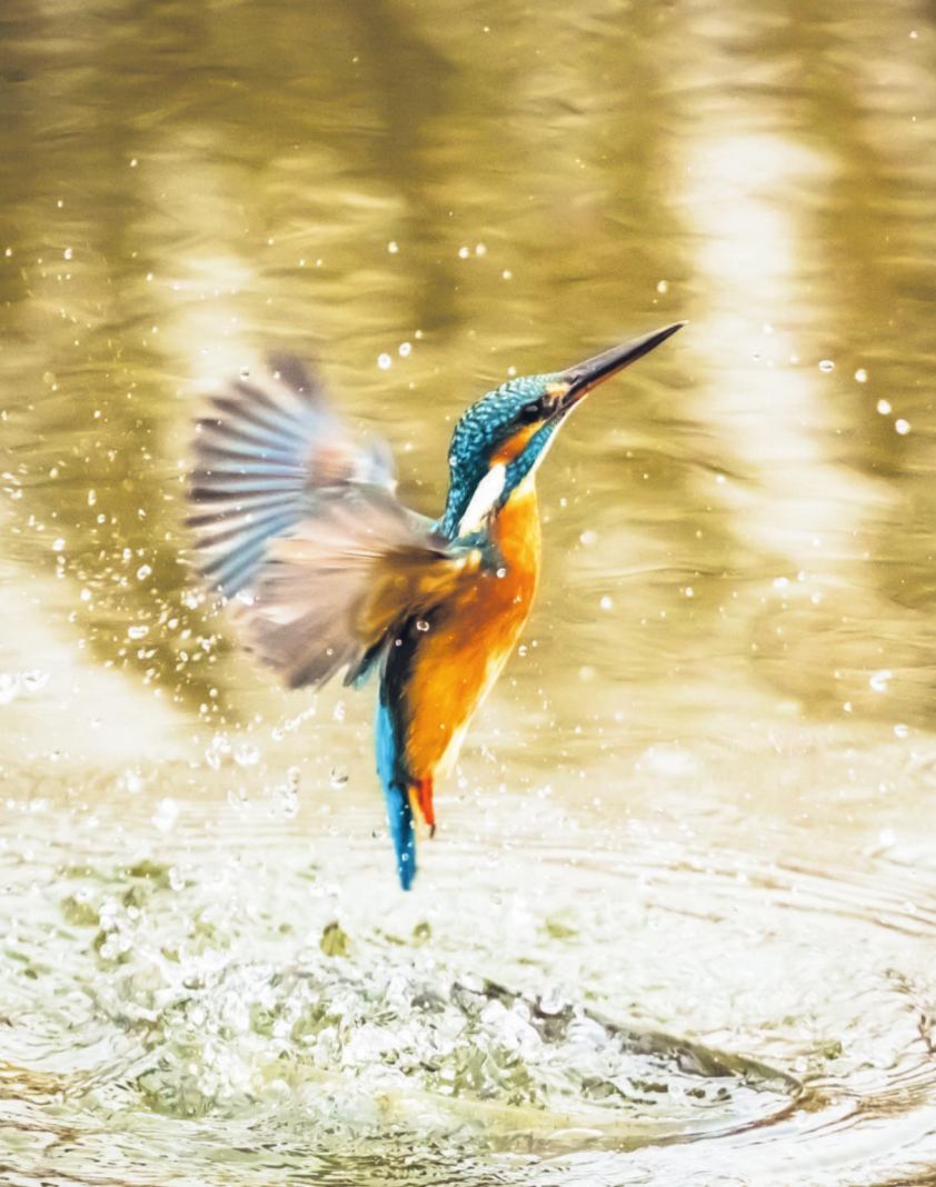 Sogar der bedrohte Eisvogel brütet im Naturschutzgebiet Haseldorfer Binnenelbe Foto: pixabay
