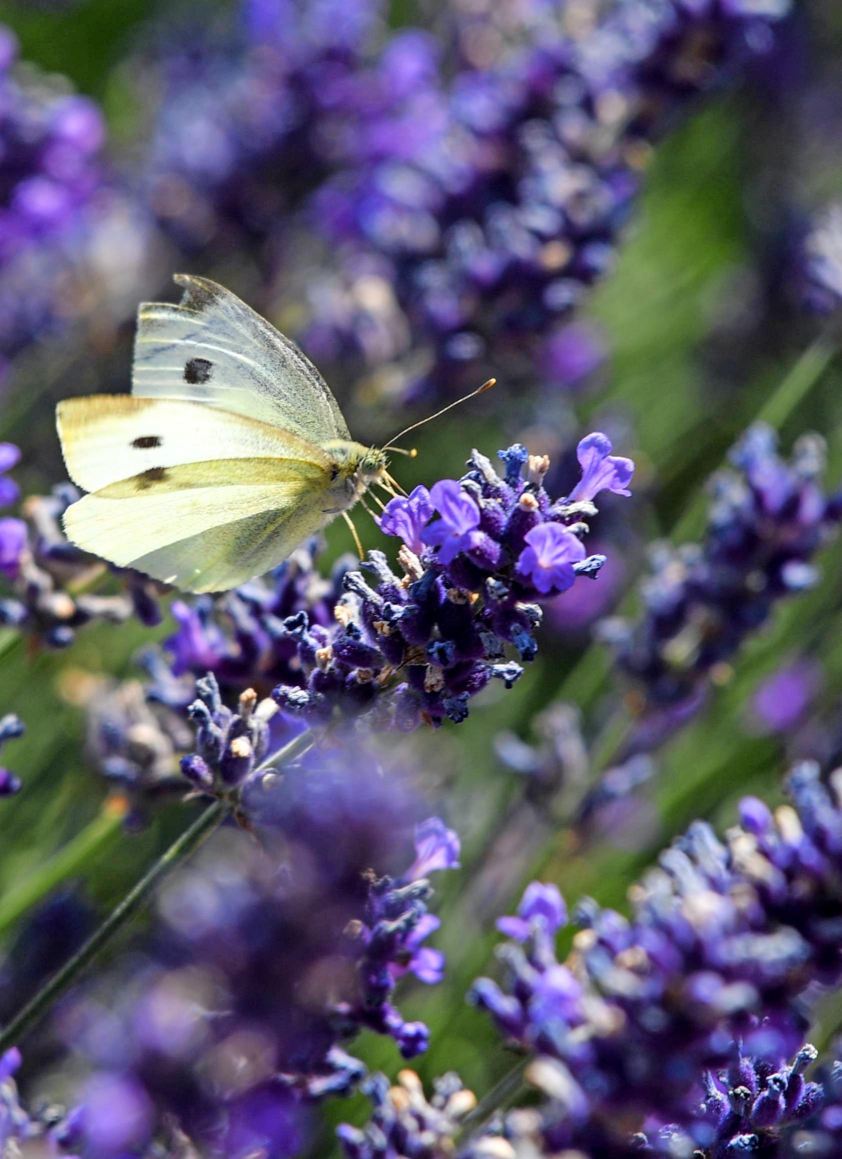 Ein robuster Klassiker und Liebling der Schmetterlinge unter den wärmeverträglichen Stauden ist der mediterrane Lavendel.