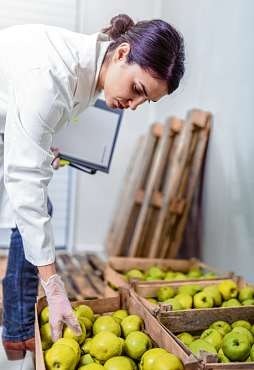 Keine Stellen, passen Größe und Form? Auch Äpfel werden auf ihre Qualität überprüft. ISTOCKPHOTO/LORDN