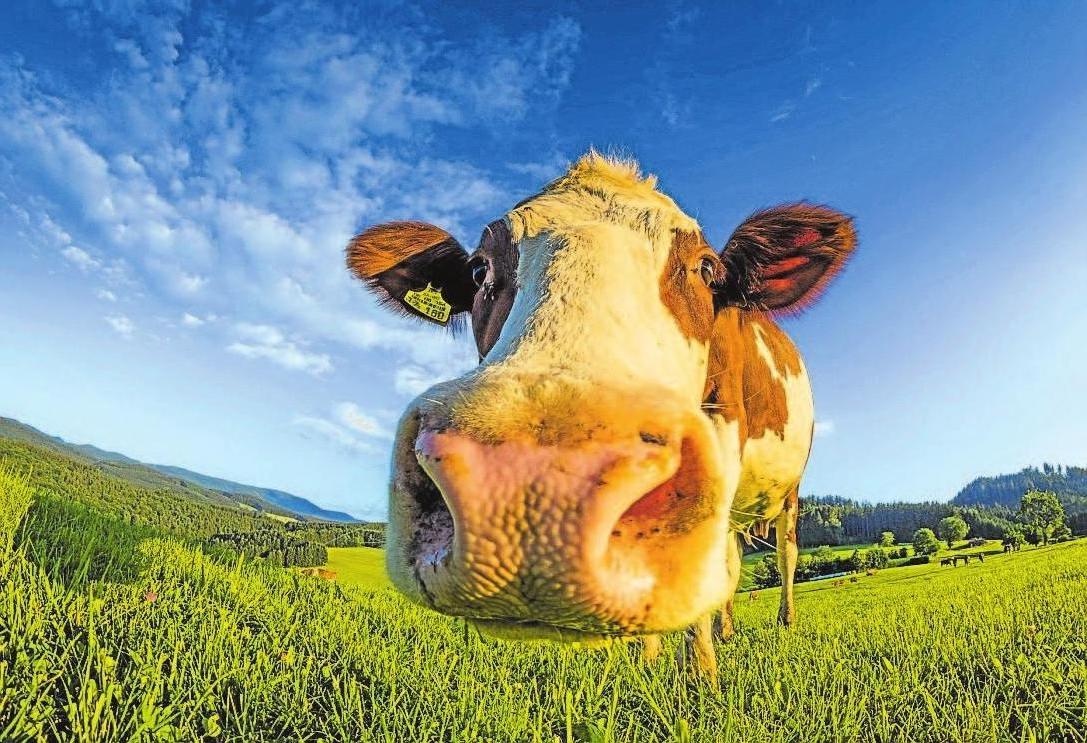 Im Allgäu werden Besucher wahrscheinlich einige der neugierigen Kühe auf den Weiden treffen.             Foto: Pixabay/Hermann Schmider
