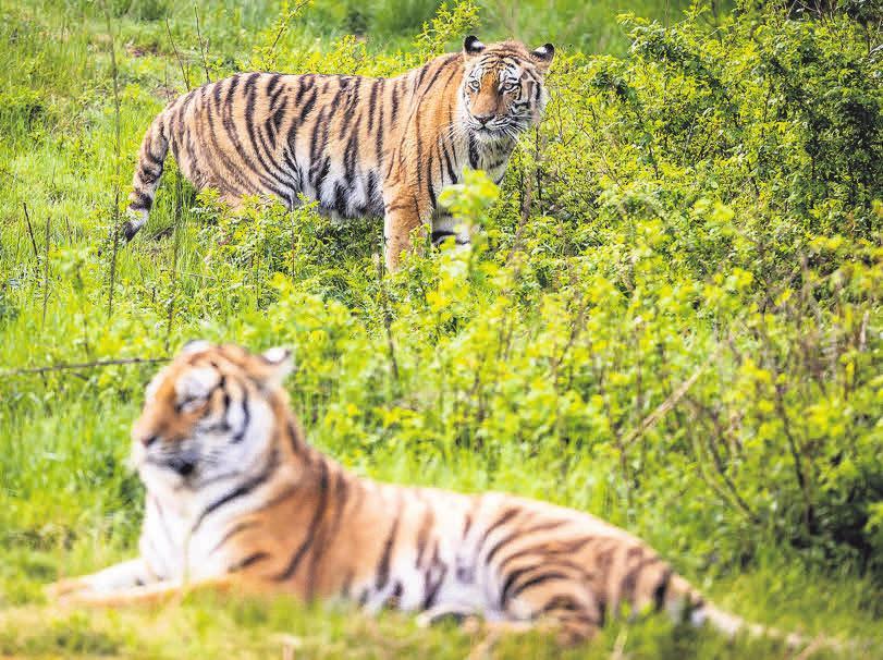 Als neue Bewohner stellen sich die beiden sibirischen Tigerdamen Anushka und Dascha vor.