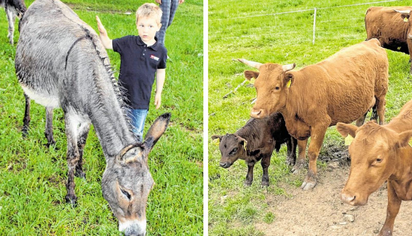Neben den Eseln wohnen noch Vorwerkhühner, Kaninchen, Kamerunschafe und Dexter-Rinder in der neuen Tier-WG.