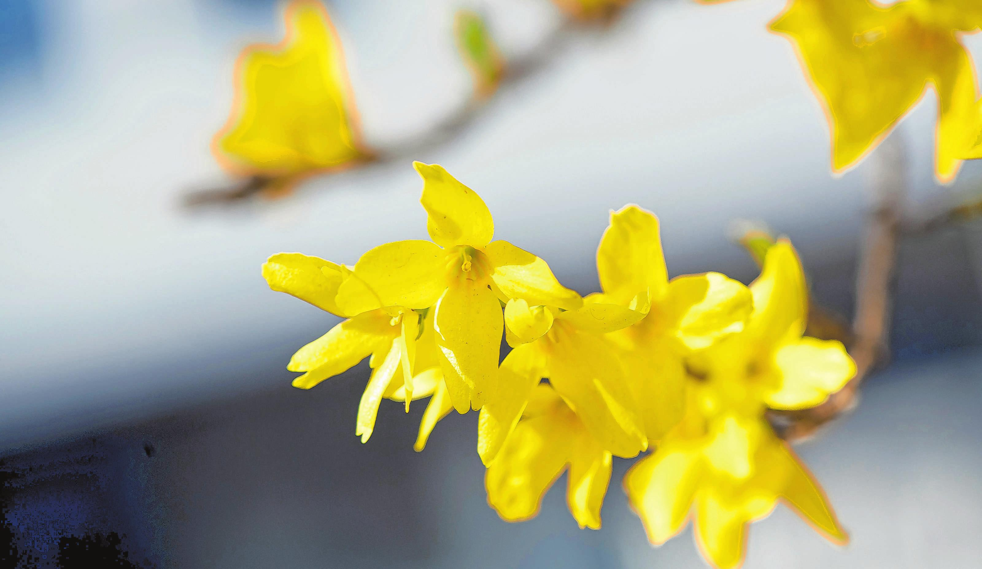 Leuchtend gelb kündigt die Forsythie den Frühling an. Foto: Andrea Warnecke/dpa-mag