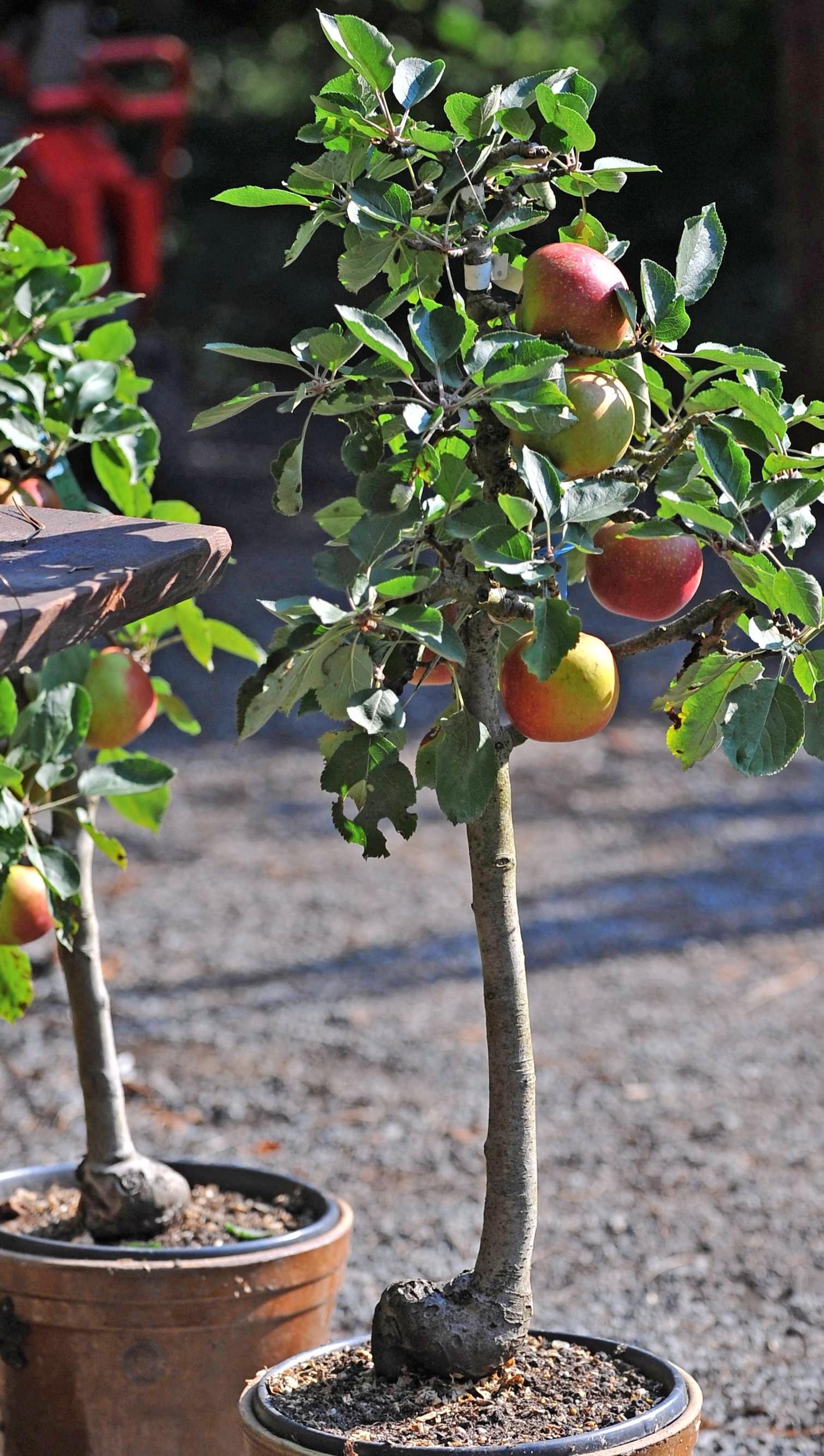 Im Fachhandel gibt es Mini-Obstbäume, die im Kübel wachsen.