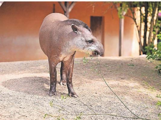 Tapir Vince ist das Sorgenkind des Zoos. Seit seinem Einzug 2017 plagen ihn immer wieder gesundheitliche Probleme. Aber er läßt sich geduldig von Tierärztin und Pflegern behandeln.