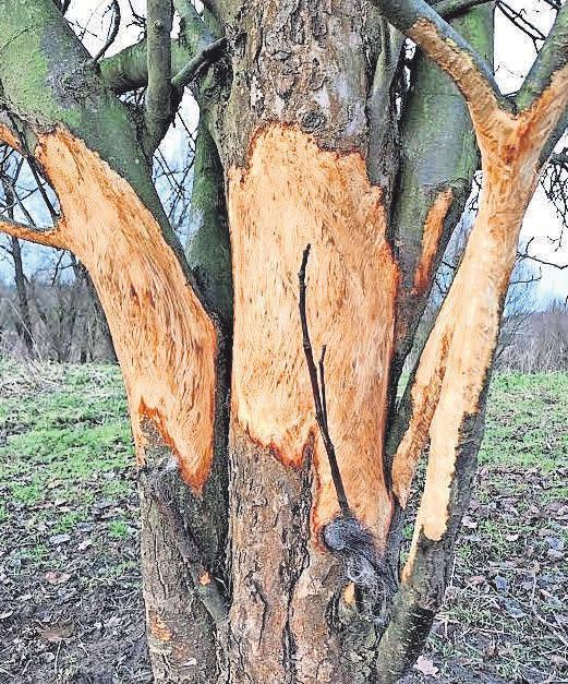 Nicht eingezäunt können Obstbäume von Schafen bis zum Totalschaden entrindet werden. Foto: Hanse Obst