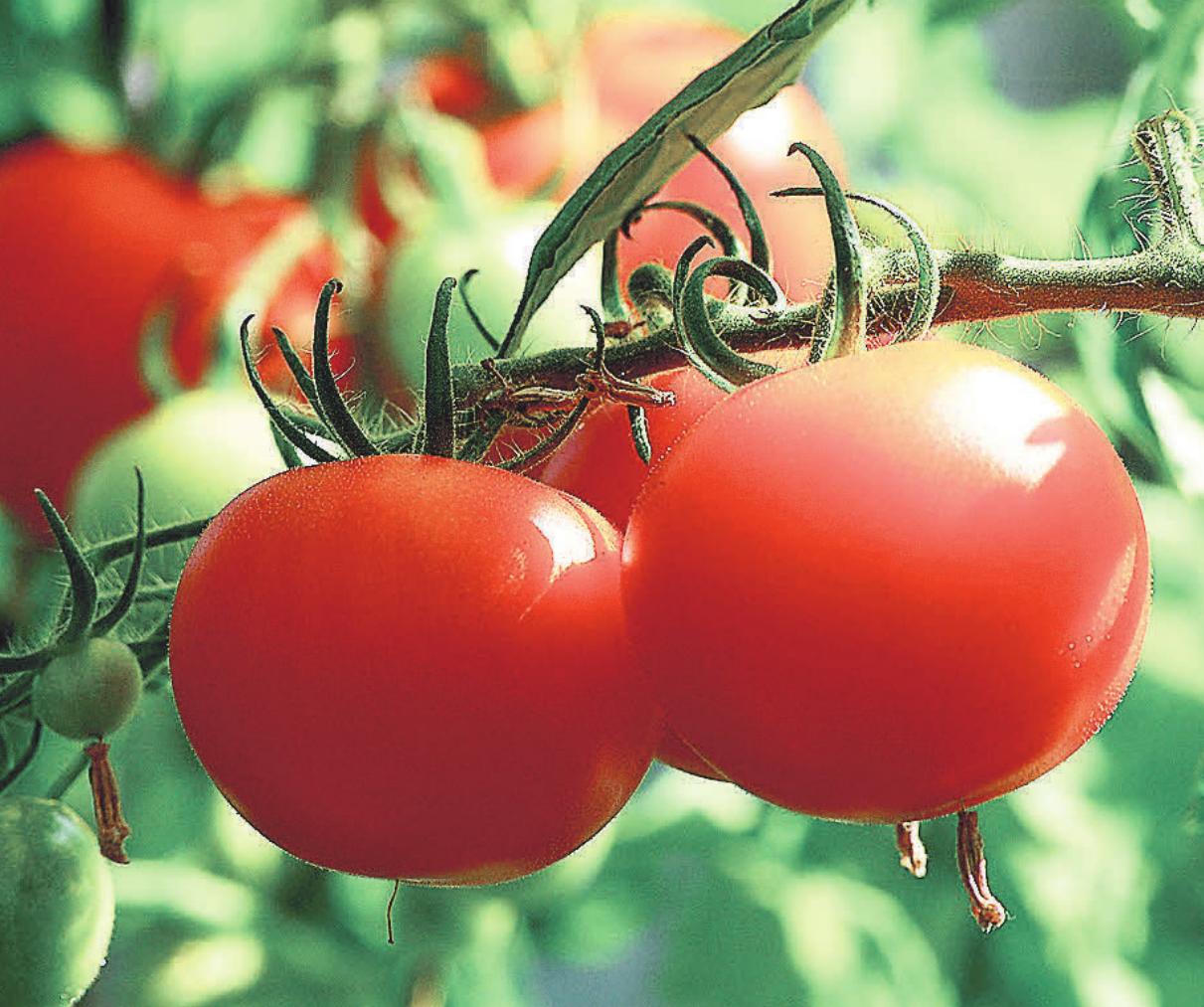 Tomaten können nicht nur in einem Garten angepflanzt werden. Foto: Pixabay/axelmellin