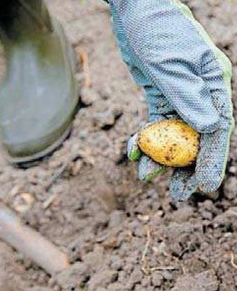 Kartoffeln zählen zwar zum mehrjährigen Gemüse, müssen allerdings spätestens im Herbst wegen der Kälte ausgegraben werden. Foto: Christin Klose/dpa