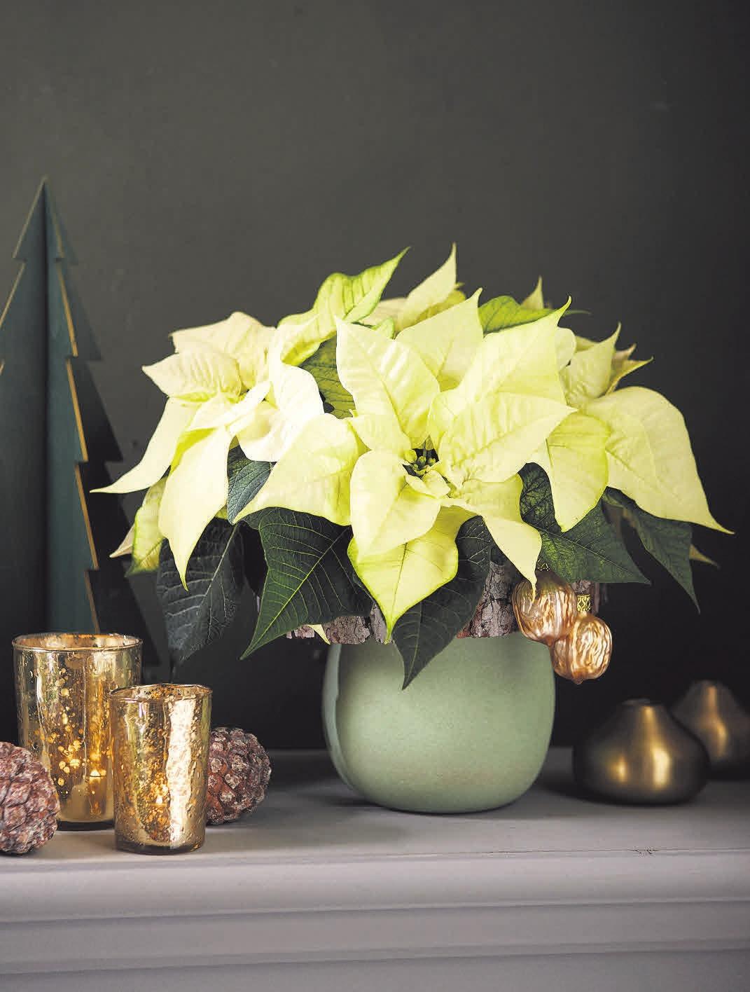 In ihrer unaufdringlichen Schönheit wirken cremefarbene Weihnachtssterne besonders edel und elegant.FOTO:STARS FOR EUROPE