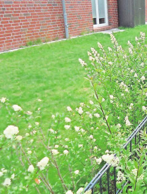 Blühende Ligusterhecken vermitteln einen lieblichen Eindruck. Foto: Busche