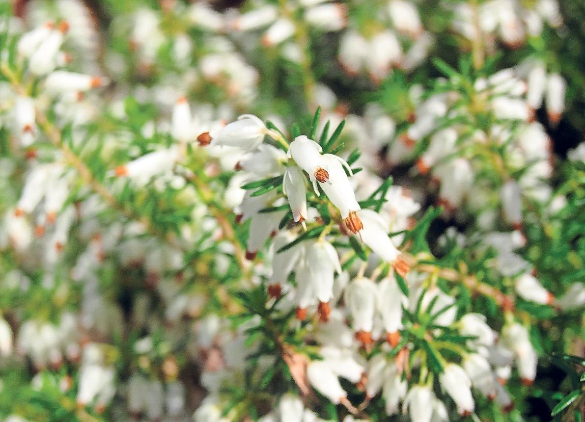 Die kultivierte Schneeheide (Erica carnea) für den Garten erblüht bis in den Spätherbst hinein.