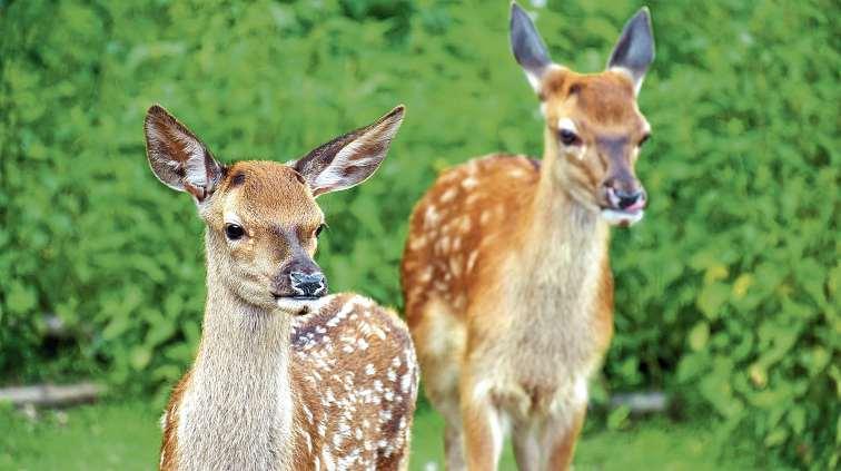 Eine Vielzahl an Wildtieren, auch Rot- und Damwild, kann im Wildpark Schwentinental bestaunt werden. FOTO: HFR