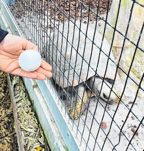 Waldschildkrötenmama Lori - alle schlüpften aus solchen Eiern.