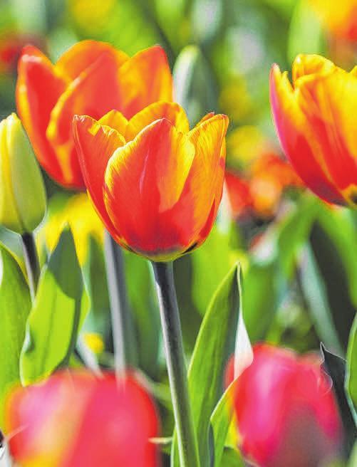 ...oder Zwiebelgewächse wie Tulpen. FOTOS: ARCHIV