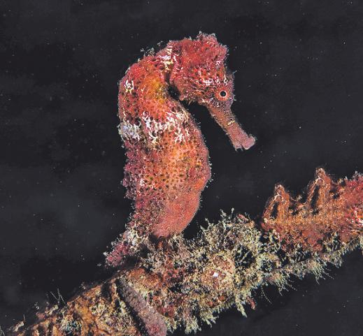Seepferdchen fallen durch ihre Form auf. Bild: Peter Schultes UW-PIC.de