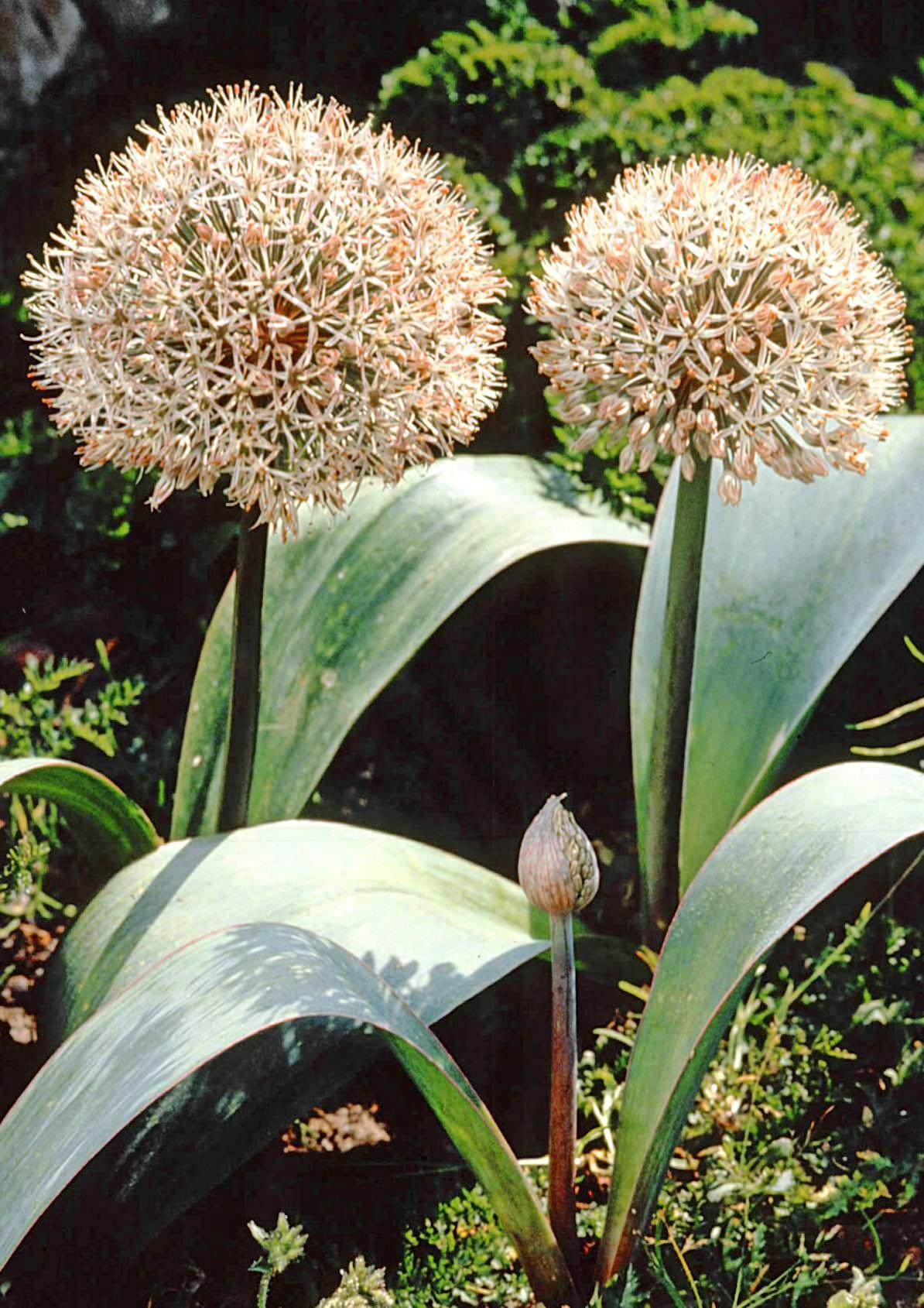 Mit Blüten in blau, lila oder weiß präsentiert sich der Zierlauch.
