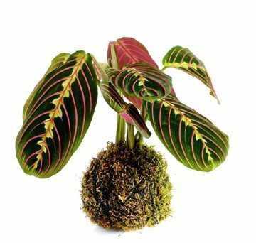 Trendaccessoire Topfpflanze: Man muss nur wissen, wie es geht. FOTO: LaXo72 / Getty Images
