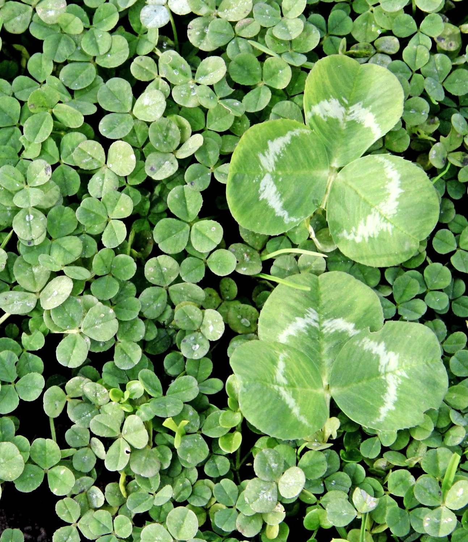 Zwergklee (li.) im Vergleich zum normalen Klee: Nur halb so hoch, kleine Blätter, dichter Wuchs – ideal für gepflegte Grünflächen. Foto: Maurus Senn