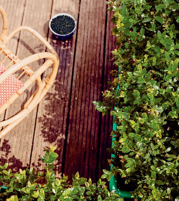 BerryBux im Balkonkasten. Foto: zu Jeddeloh