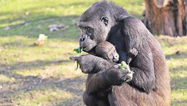 Das Krefelder Ehepaar hat die Patenschaft für Gorilla-Baby Bobóto – hier mit Mama Miliki – übernommen.